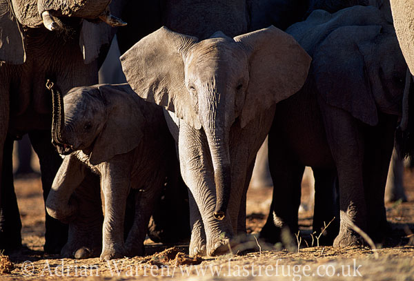 African Elephants (Loxodonta africana) juvenile in group, Etosha National Park, Namibia