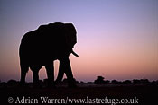 African Elephant (Loxodonta africana) in sunset, Etosha National Park, Namibia