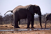 African Elephant (Loxodonta africana) at water hole, Etosha National Park, Namibia