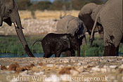 African Elephants (Loxodonta africana) group with (muddy) baby, Etosha National Park, Namibia