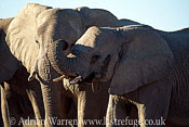 African Elephants (Loxodonta africana) group, one lifting trunk, Etosha National Park, Namibia
