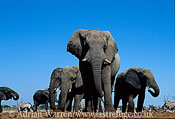 African Elephants (Loxodonta africana) group, Etosha National Park, Namibia