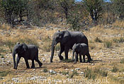 African Elephants (Loxodonta africana) group travelling, Etosha National Park, Namibia