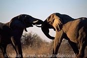 African Elephant s(Loxodonta africana) two elephants sparring, Etosha National Park, Namibia
