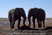 African Elephant (Loxodonta africana)two elephants enjoying a salt lick, Etosha National Park, Namibia