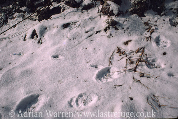 Giant Panda (Ailuropoda melanoleuca), footprint in snow, Qinling Mts., Shaanxi, China, 1993