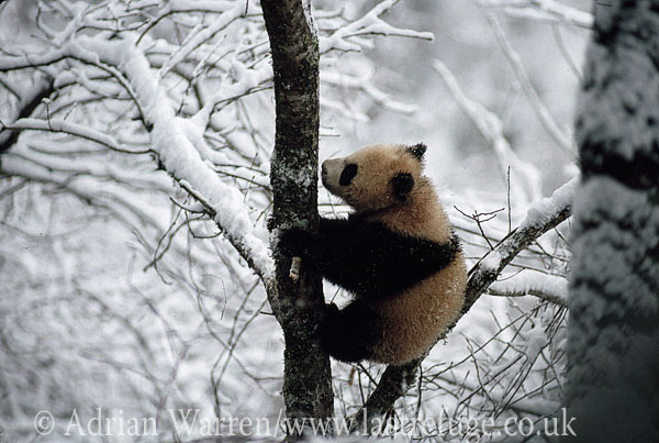 Giant Panda juvenile on tree in snow (Ailuropoda melanoleuca), Qinling Mts., Shaanxi, China, 1993