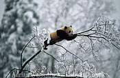 Giant Panda juvenile (Ailuropoda melanoleuca), on tree in snow, Qinling Mts., Shaanxi, China, 1993