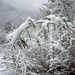 Snow on tree, Giant Panda habitat (Ailuropoda melanoleuca), Qinling Mts., Shaanxi, China, 1993