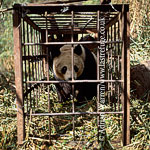 Giant Panda (Ailuropoda melanoleuca), in cage for research, Qinling Mts., Shaanxi, China, 1993