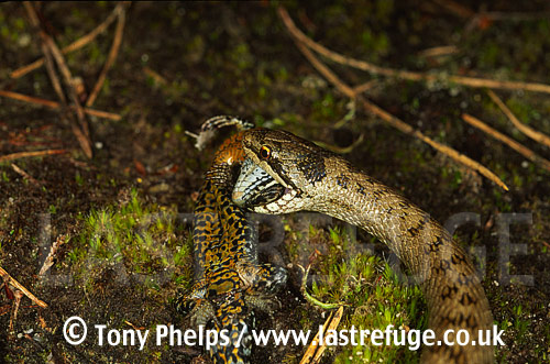 Smooth snake (Coronella austriaca) eating lizard (Lacerta vivipara), Purbeck, Dorset, UK