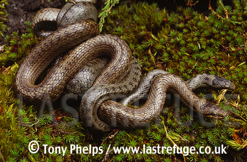 Smooth snakes (Coronella austriaca) mating, Purbeck, Dorset, UK
