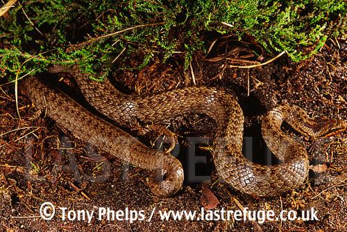 Smooth snake (Coronella austriaca), Adult male, Purbeck, Dorset, UK