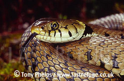 Female grass snake (Natrix natrix) tasting the air, Purbeck, Dorset, UK