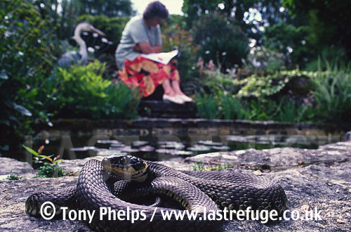 Grass snake (Natrix natrix) basking by garden pond, Purbeck, Dorset, UK
