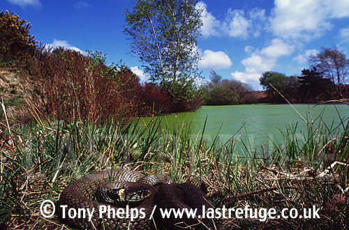 Grass snake (Natrix natrix) Adult female basking by pond, Purbeck, Dorset, UK