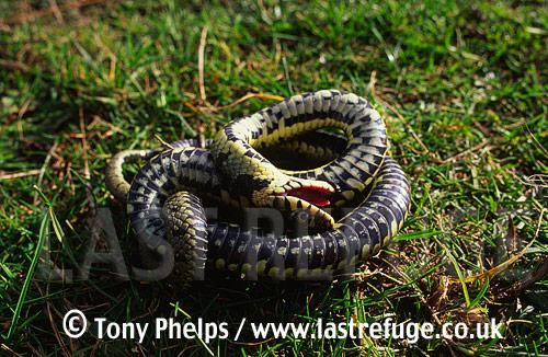 Grass snake (Natrix natrix) shamming death, Purbeck, Dorset, UK