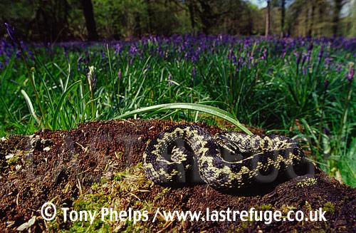 Adder (Vipera berus) & bluebells, Cranborne, Dorset, UK