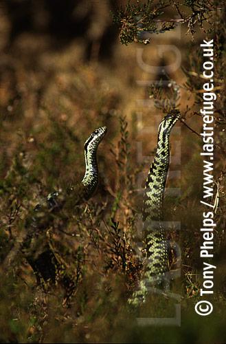 Male Adders (Vipera berus) dancing in rivalry, Somerset, UK