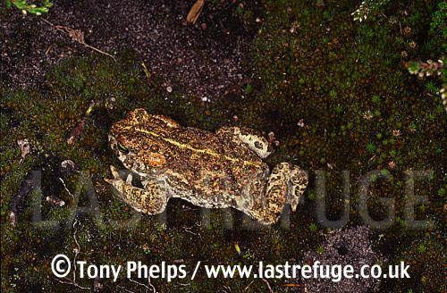 Natterjack (Bufo calamita), adult female, Hampshire, UK
