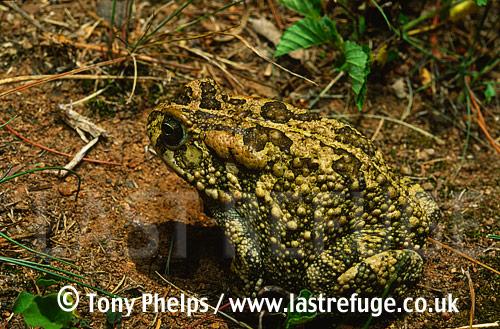 Guttural Toad (Bufu gutturalis), Mapumulanga, South Africa