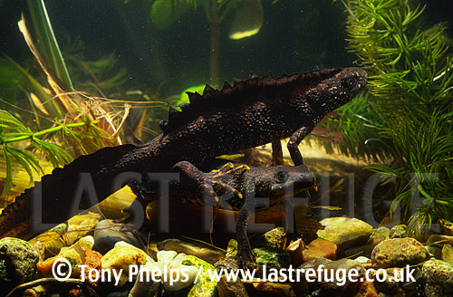 Great-crested Newts (Triturus cristatus), male & female, Chickerell, Dorset, UK