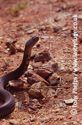 Mocambique Spitting Cobra (Naja mossambica). Tugela River, Kwazulunatal, South Africa