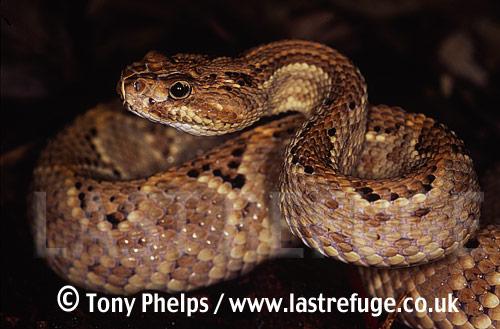 Aruba Island Rattlesnake (Crotalus uniclor), Aruba Island, Venezuela