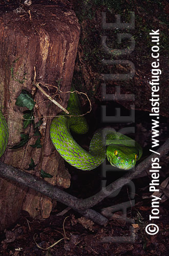Green tree viper (Cryptelytrops albolabris), , Thailand