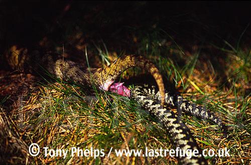 Adders (Vipera berus) mating, Mendips, Somerset, UK