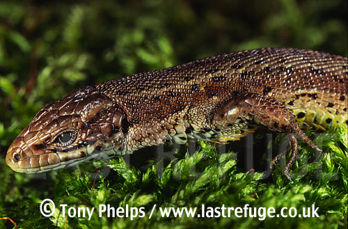 Common Lizard (Lacerta vivipera), adult male, Purbeck, Dorset, UK