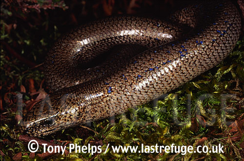 Slow worm (Anguis fragilis), adult male, Ferndown, Dorset, UK