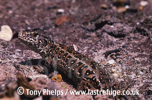 Female sand lizard (Lacerta agilis) emerging from nest burrow, Purbeck, Dorset, UK