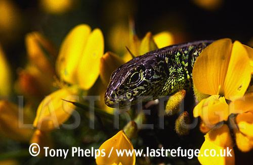 Sand lizard (Lacerta agilis), adult male. Michaels Pond, Purbeck, Dorset, UK