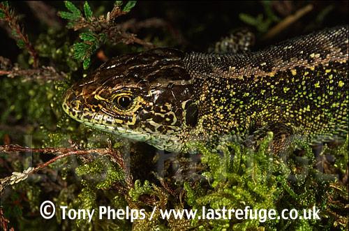 Sand lizard (Lacerta agilis), adult male, Purbeck, Dorset, UK