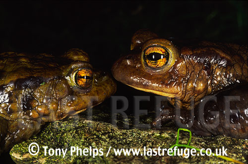 Common Toads (Bufo bufo), Purbeck, Dorset, UK