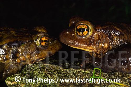Common Toads (Bufo bufo), Purbeck, Dorset, UK