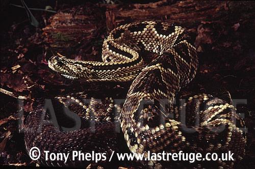 Neotropical rattlesnake (Crotalus durrissus), , Guyana