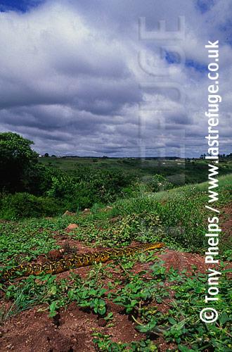 Puff Adder (Bitis arietans), Kwazulunatal, South Africa