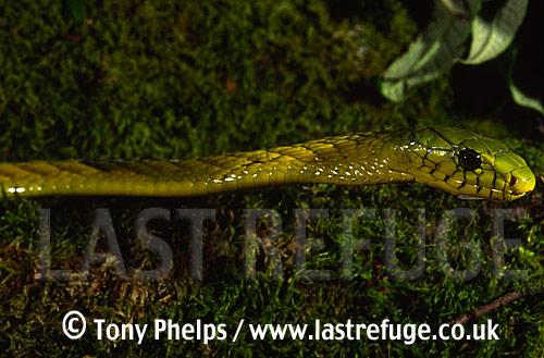 Western green mamba, Dendroapsis viridis, Kakamega, Kenya