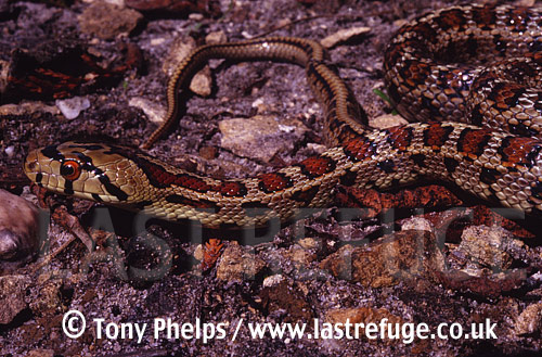 Leopard snake (Elaphe situla), male, Southern Italy, Italy