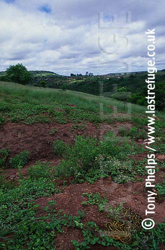 Puff Adder (Bitis arietans), Kwazulunatal (Shongweni), South Africa