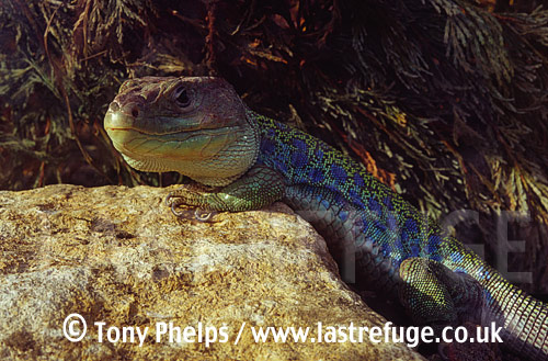 Eyed Lizard (Lacerta lepida), adult male, From Northern Spain, Spain