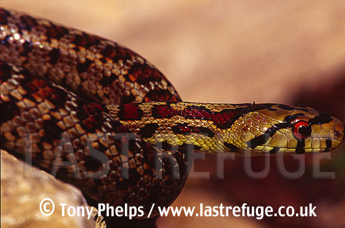 Leopard snake (Elaphe situla), male, From Southern Italy, Italy