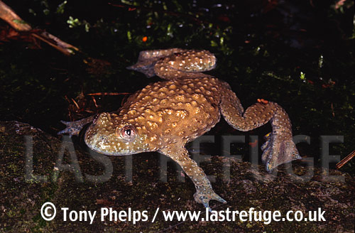 Yellow-bellied Toad (Bombina variagata), , Central & South Europe