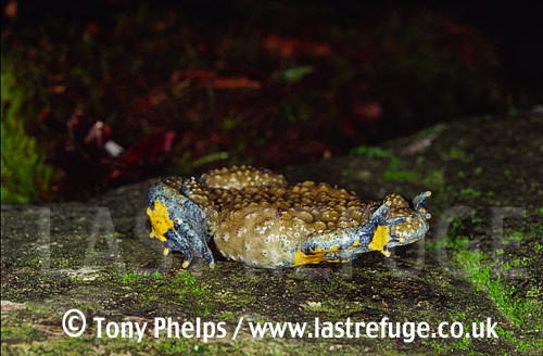 Yellow-bellied Toad (Bombina variagata), defensive posture, , Central & South Europe