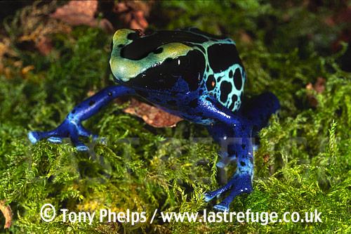 Arrow-poison Frog (Dendrobates tinctorius), , Brazil