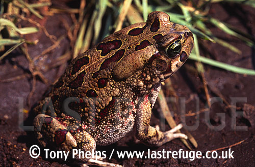 Olive Toad (Bufo garmani), Eastern Transvaal, South Africa