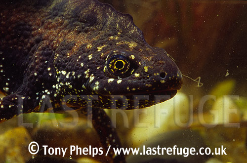 Great-crested Newts (Triturus cristatus), male , Chickerell, Dorset, UK