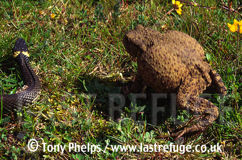 Common Toad (Bufo bufo), defensive behaviour against grass snake (Natrix natrix), Purbeck, Dorset, UK